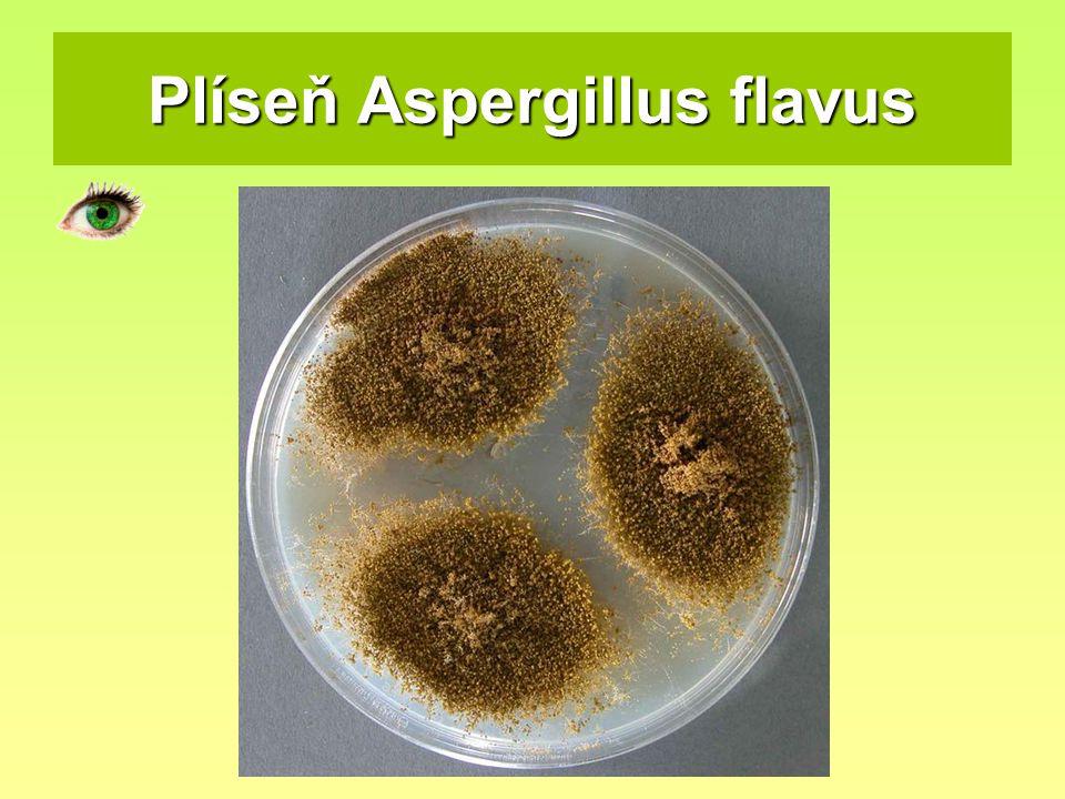Plíseň Aspergillus flavus