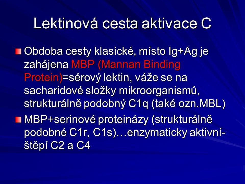 Lektinová cesta aktivace C Obdoba cesty klasické, místo Ig+Ag je zahájena MBP (Mannan Binding Protein)=sérový lektin, váže se na sacharidové složky mi