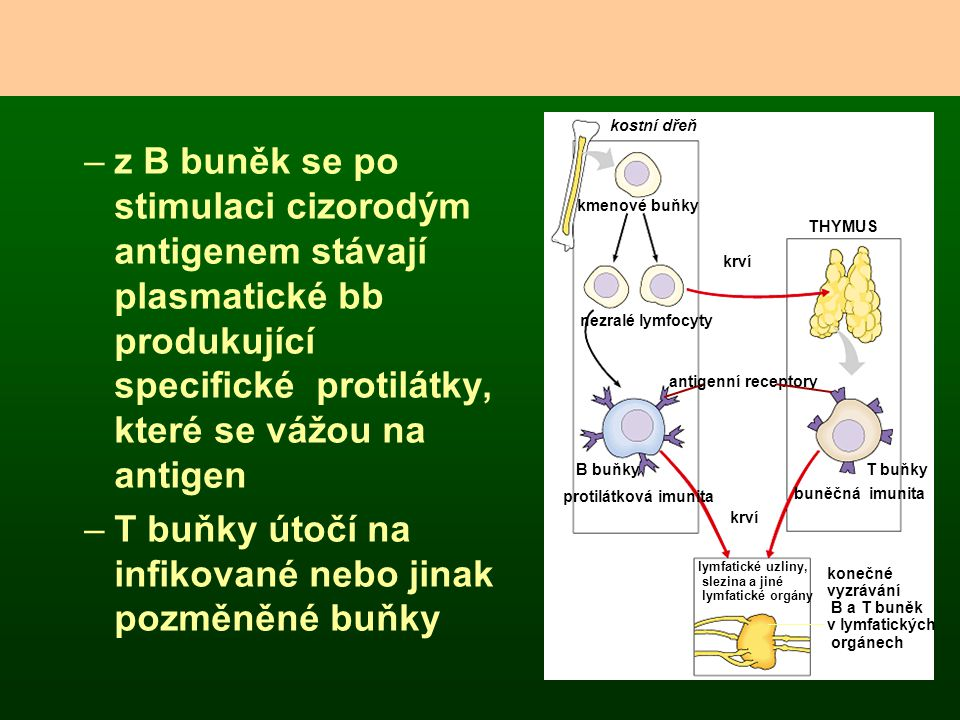 –z B buněk se po stimulaci cizorodým antigenem stávají plasmatické bb produkující specifické protilátky, které se vážou na antigen –T buňky útočí na i