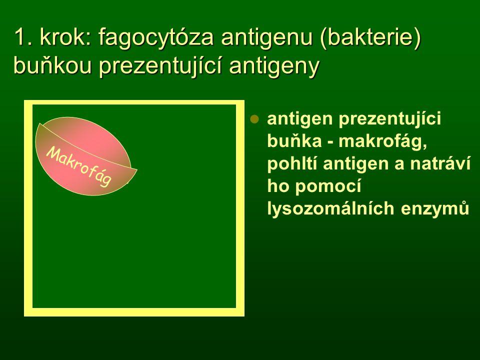 makrofág 1. krok: fagocytóza antigenu (bakterie) buňkou prezentující antigeny antigen prezentujíci buňka - makrofág, pohltí antigen a natráví ho pomoc