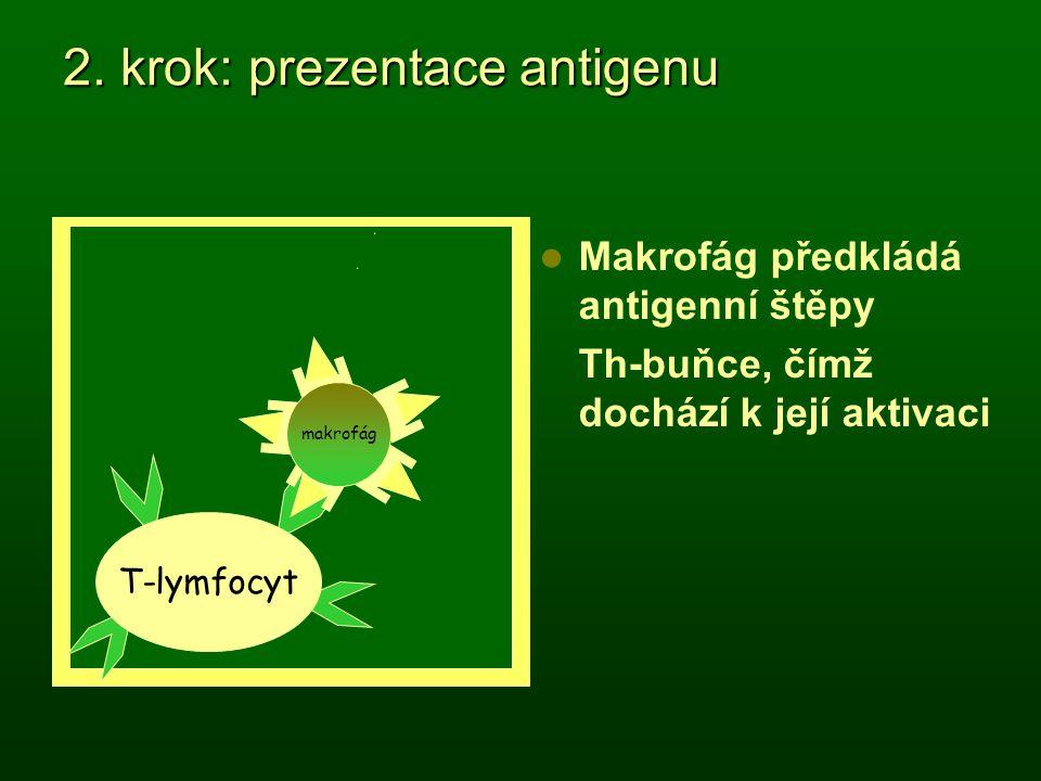 2. krok: prezentace antigenu Makrofág předkládá antigenní štěpy Th-buňce, čímž dochází k její aktivaci makrofág APC T-lymfocyt makrofág APC makrofág