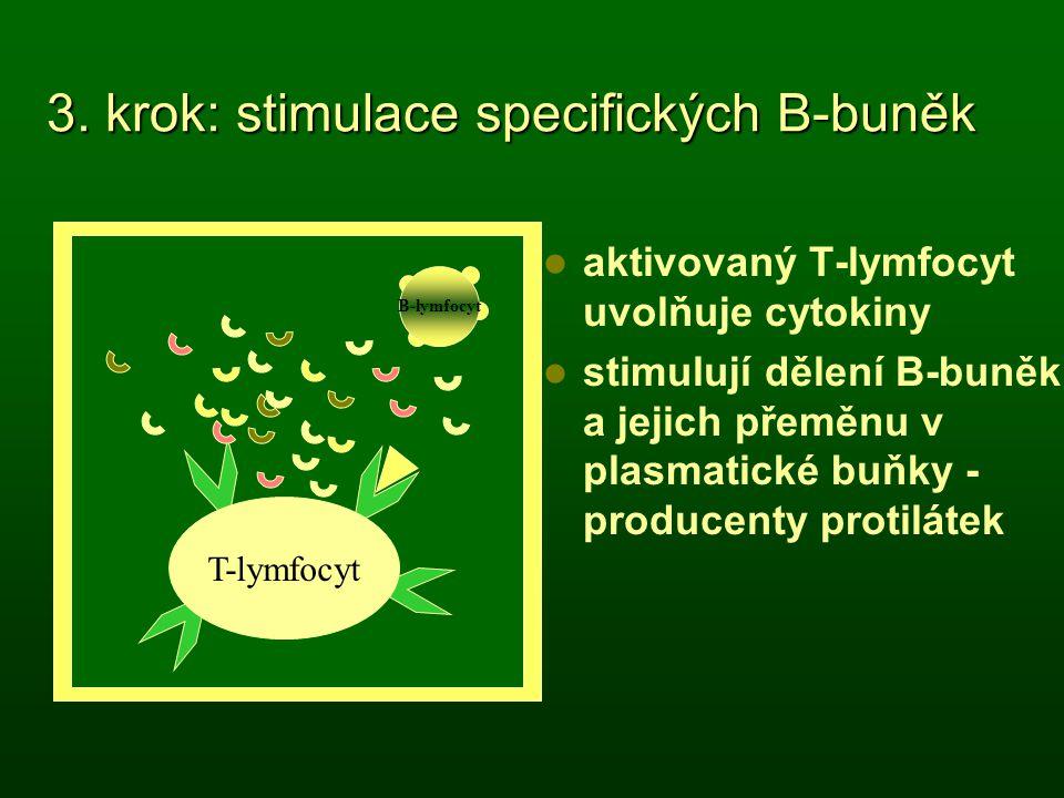 3. krok: stimulace specifických B-buněk aktivovaný T-lymfocyt uvolňuje cytokiny stimulují dělení B-buněk a jejich přeměnu v plasmatické buňky - produc