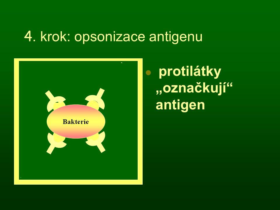 """4. krok: opsonizace antigenu protilátky """"označkují"""" antigen Bakterie"""