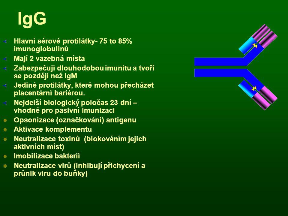 IgG Hlavní sérové protilátky- 75 to 85% imunoglobulinů Mají 2 vazebná místa Zabezpečují dlouhodobou imunitu a tvoří se později než IgM Jediné protilát