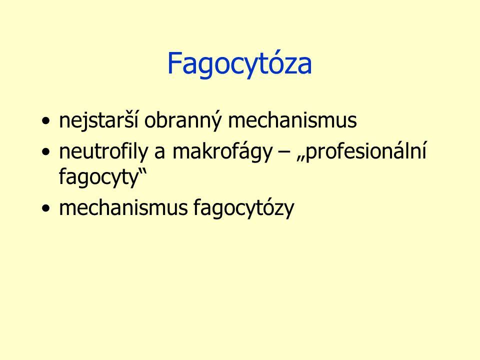 """Fagocytóza nejstarší obranný mechanismus neutrofily a makrofágy – """"profesionální fagocyty"""" mechanismus fagocytózy"""