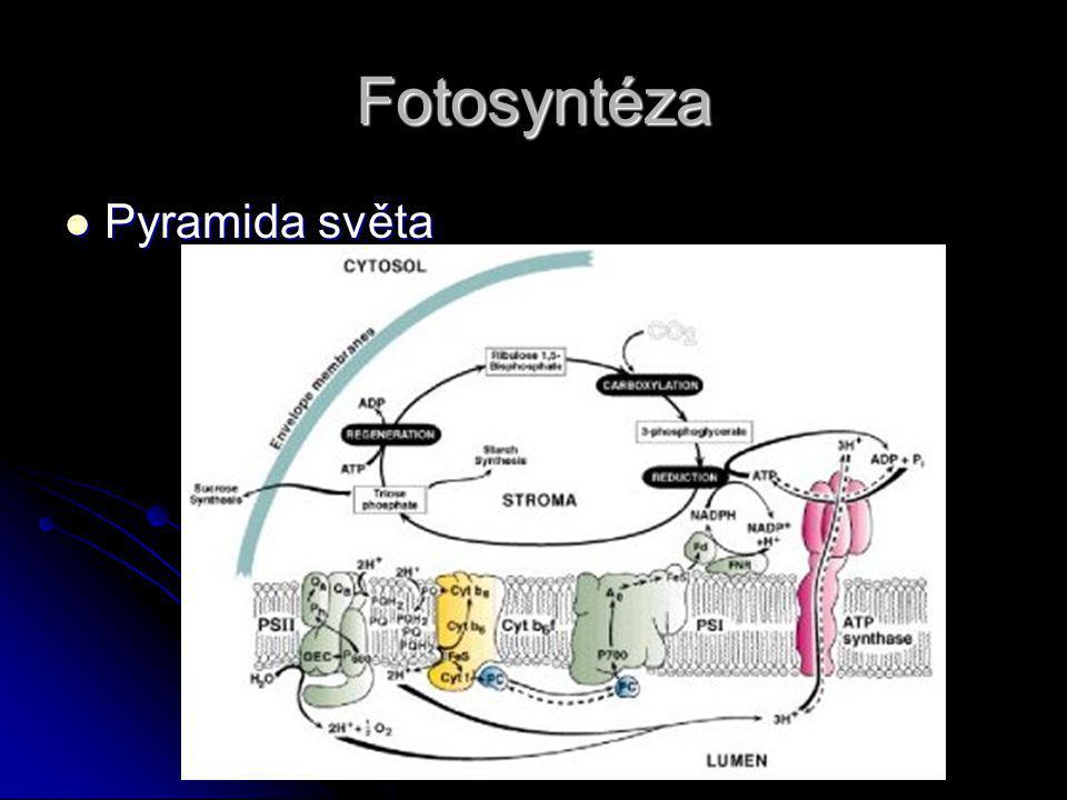Fotosyntéza Pyramida světa Pyramida světa