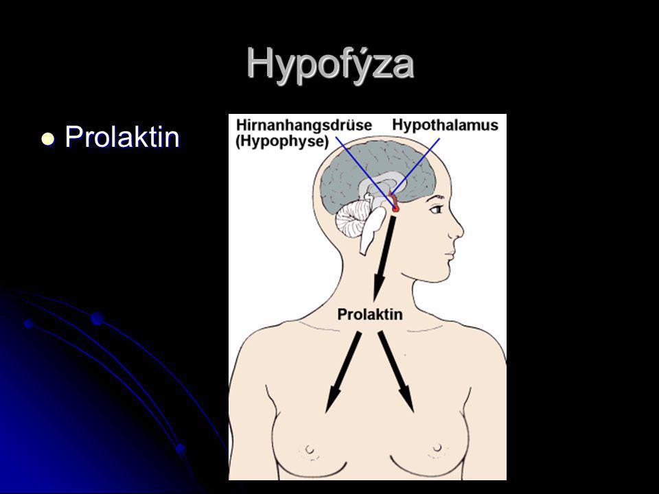 Hypofýza Prolaktin Prolaktin