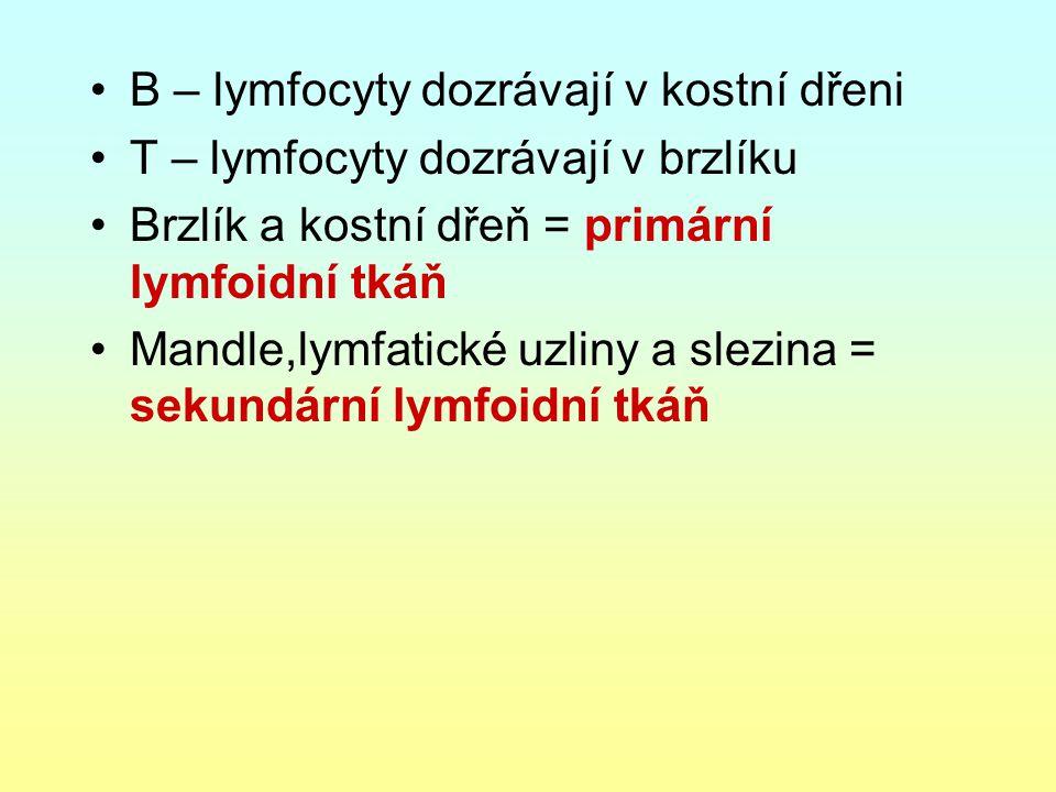 B – lymfocyty dozrávají v kostní dřeni T – lymfocyty dozrávají v brzlíku Brzlík a kostní dřeň = primární lymfoidní tkáň Mandle,lymfatické uzliny a sle