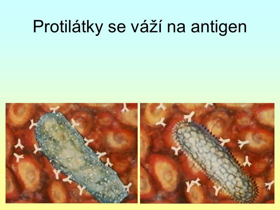B-lymfocyty tvoří proti viru protilátky