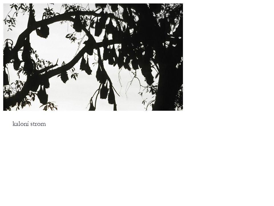 kaloní strom