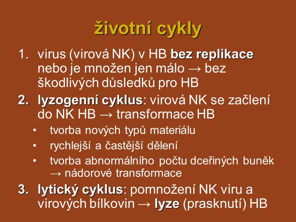 životní cykly bez replikace 1.virus (virová NK) v HB bez replikace nebo je množen jen málo → bez škodlivých důsledků pro HB 2.lyzogenní cyklus 2.lyzog