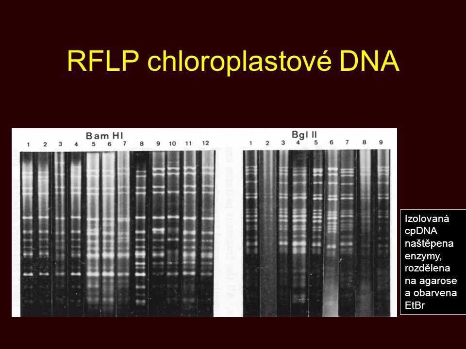 RFLP chloroplastové DNA Izolovaná cpDNA naštěpena enzymy, rozdělena na agarose a obarvena EtBr