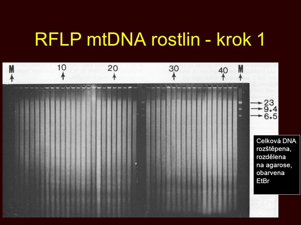 RFLP mtDNA rostlin - krok 1 Celková DNA rozštěpena, rozdělena na agarose, obarvena EtBr