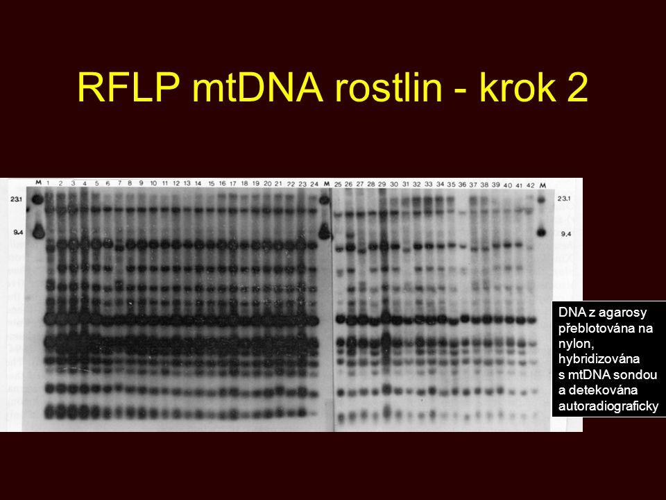 RFLP mtDNA rostlin - krok 2 DNA z agarosy přeblotována na nylon, hybridizována s mtDNA sondou a detekována autoradiograficky