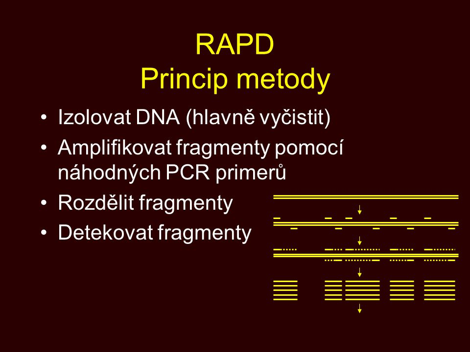 RAPD Princip metody Izolovat DNA (hlavně vyčistit) Amplifikovat fragmenty pomocí náhodných PCR primerů Rozdělit fragmenty Detekovat fragmenty