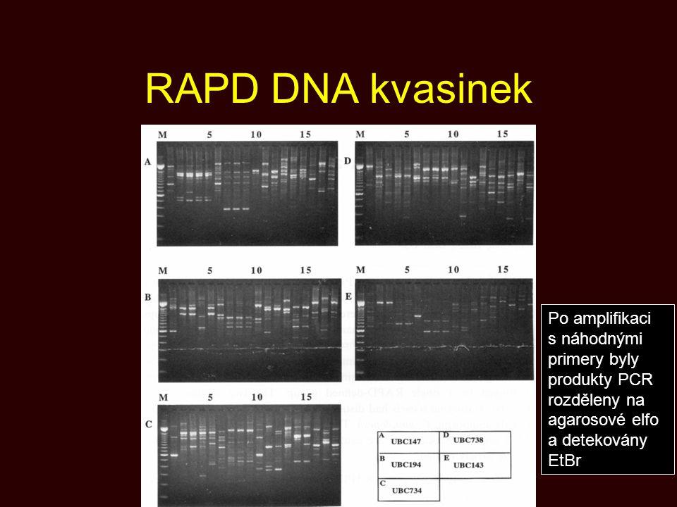 RAPD DNA kvasinek Po amplifikaci s náhodnými primery byly produkty PCR rozděleny na agarosové elfo a detekovány EtBr