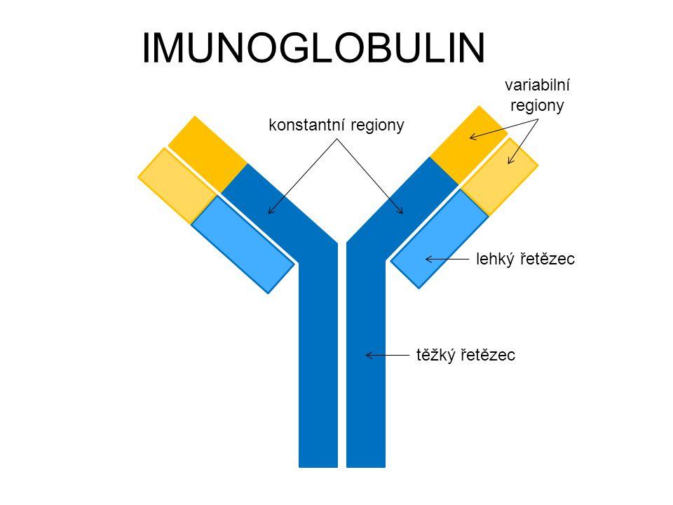 IMUNOGLOBULIN těžký řetězec lehký řetězec konstantní regiony variabilní regiony