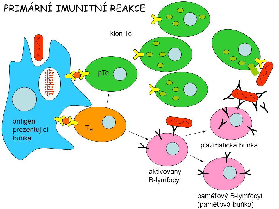 antigen prezentující buňka pTc klon Tc THTH aktivovaný B-lymfocyt plazmatická buňka paměťový B-lymfocyt (paměťová buňka) PRIMÁRNÍ IMUNITNÍ REAKCE
