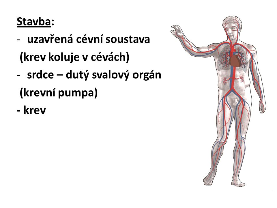 Stavba: -uzavřená cévní soustava (krev koluje v cévách) -srdce – dutý svalový orgán (krevní pumpa) - krev