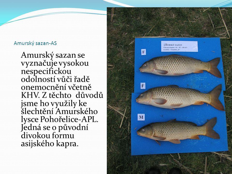 Amurský sazan-AS Amurský sazan se vyznačuje vysokou nespecifickou odolností vůči řadě onemocnění včetně KHV. Z těchto důvodů jsme ho využily ke šlecht