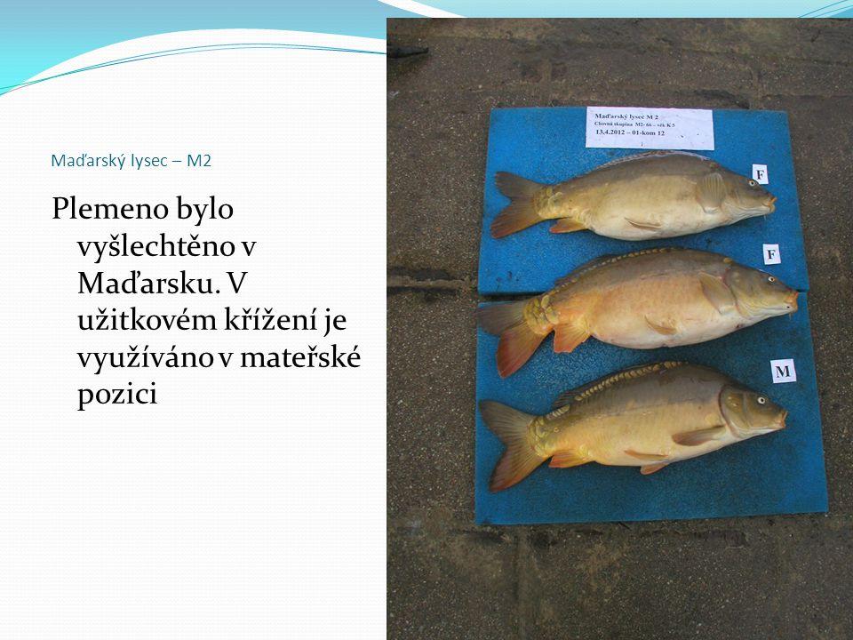 Maďarský lysec – M2 Plemeno bylo vyšlechtěno v Maďarsku. V užitkovém křížení je využíváno v mateřské pozici