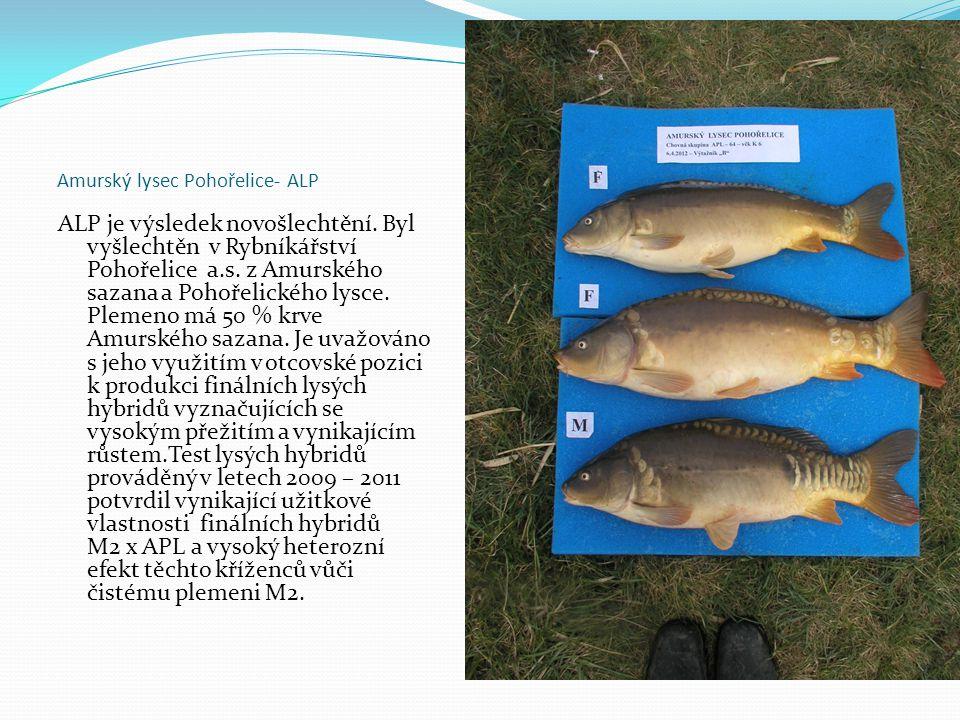 Amurský lysec Pohořelice- ALP ALP je výsledek novošlechtění. Byl vyšlechtěn v Rybníkářství Pohořelice a.s. z Amurského sazana a Pohořelického lysce. P