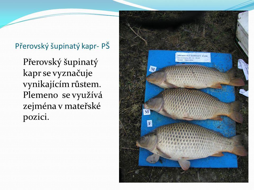 Přerovský šupinatý kapr- PŠ Přerovský šupinatý kapr se vyznačuje vynikajícím růstem. Plemeno se využívá zejména v mateřské pozici.