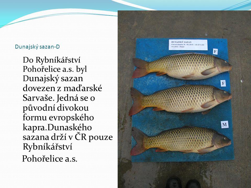 Dunajský sazan-D Do Rybníkářství Pohořelice a.s. byl D unajský sazan dovezen z maďarské Sarvaše. Jedná se o původní divokou formu evropského kapra.Dun