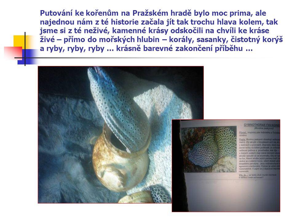 Putování ke kořenům na Pražském hradě bylo moc prima, ale najednou nám z té historie začala jít tak trochu hlava kolem, tak jsme si z té neživé, kamenné krásy odskočili na chvíli ke kráse živé – přímo do mořských hlubin – korály, sasanky, čistotný korýš a ryby, ryby, ryby … krásně barevné zakončení příběhu …
