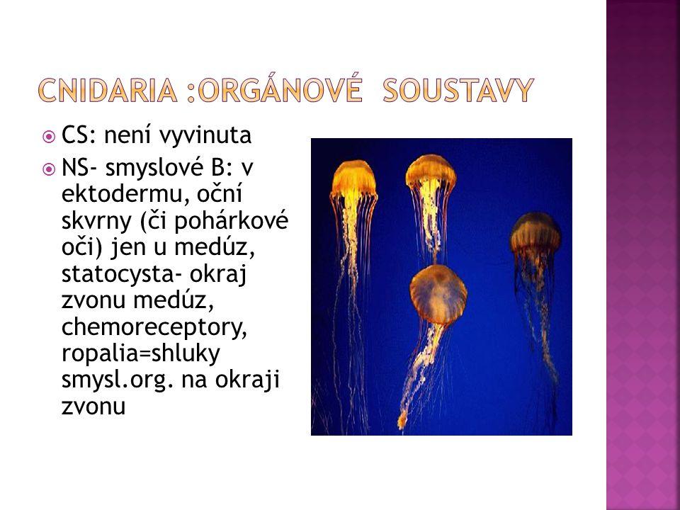  CS: není vyvinuta  NS- smyslové B: v ektodermu, oční skvrny (či pohárkové oči) jen u medúz, statocysta- okraj zvonu medúz, chemoreceptory, ropalia=shluky smysl.org.
