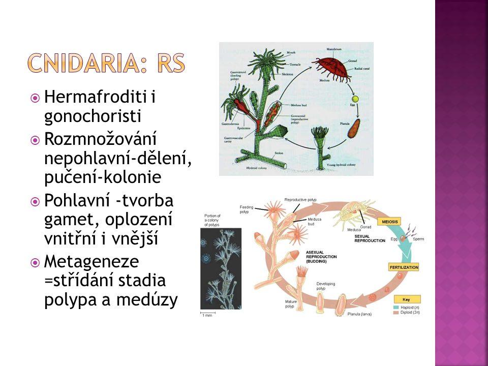  Hermafroditi i gonochoristi  Rozmnožování nepohlavní-dělení, pučení-kolonie  Pohlavní -tvorba gamet, oplození vnitřní i vnější  Metageneze =střídání stadia polypa a medúzy