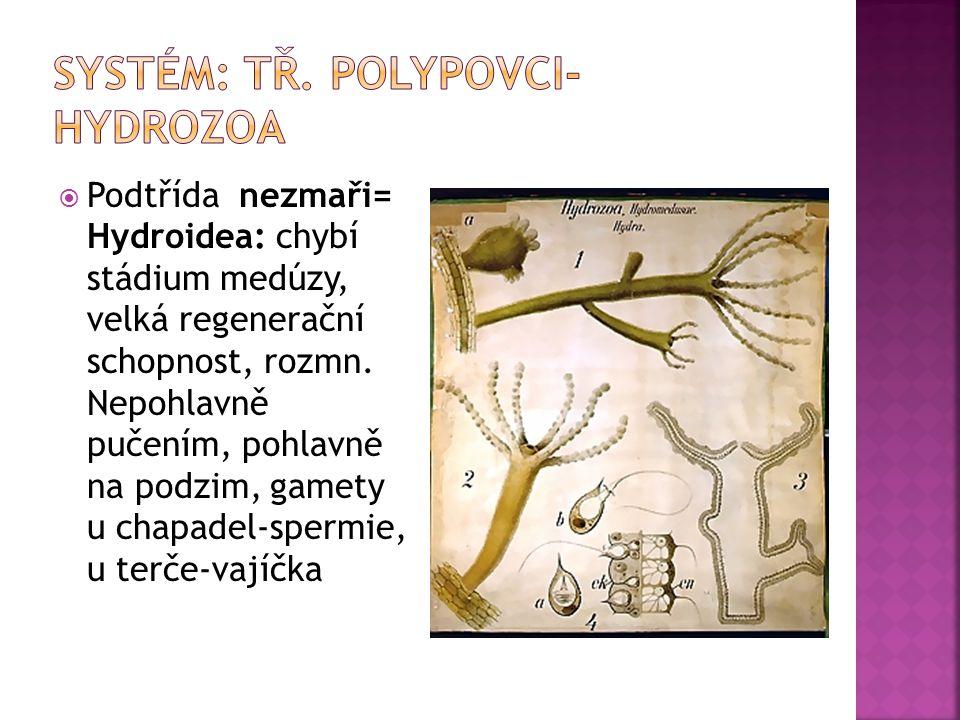  Podtřída nezmaři= Hydroidea: chybí stádium medúzy, velká regenerační schopnost, rozmn. Nepohlavně pučením, pohlavně na podzim, gamety u chapadel-spe
