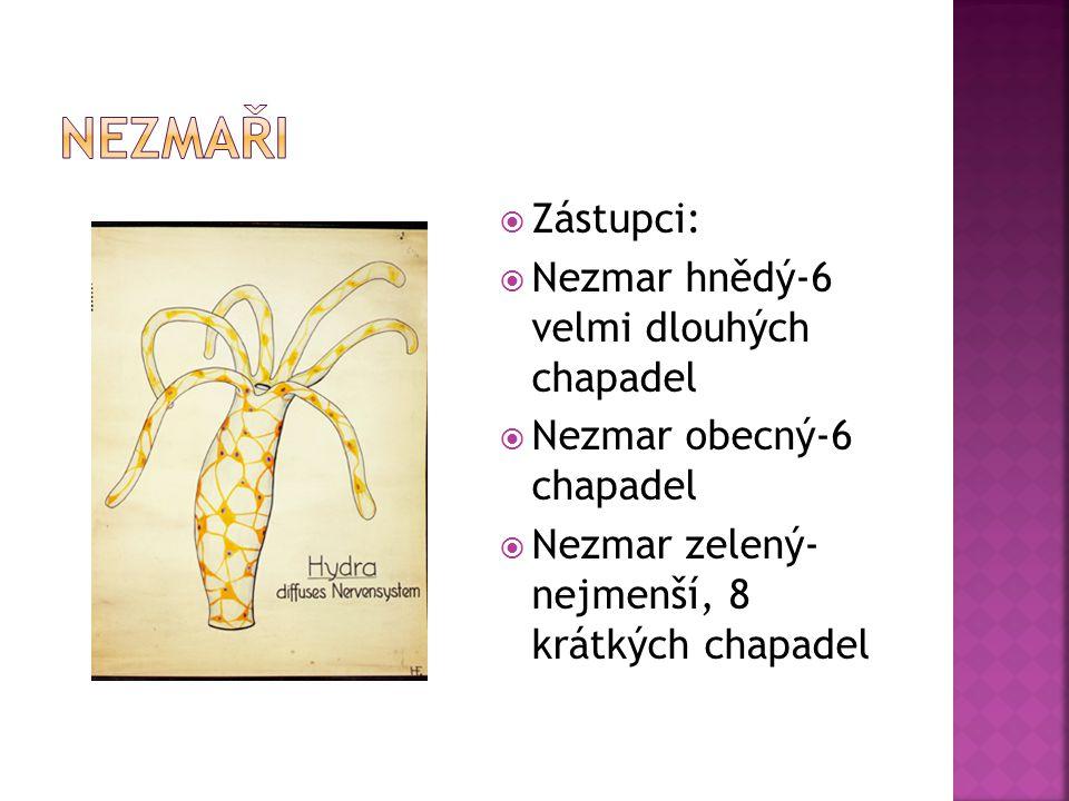  Zástupci:  Nezmar hnědý-6 velmi dlouhých chapadel  Nezmar obecný-6 chapadel  Nezmar zelený- nejmenší, 8 krátkých chapadel