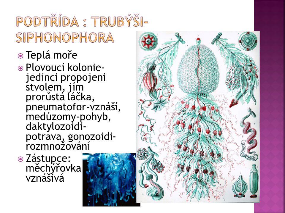  Teplá moře  Plovoucí kolonie- jedinci propojeni stvolem, jím prorůstá láčka, pneumatofor-vznáší, medúzomy-pohyb, daktylozoidi- potrava, gonozoidi- rozmnožování  Zástupce: měchýřovka vznášivá