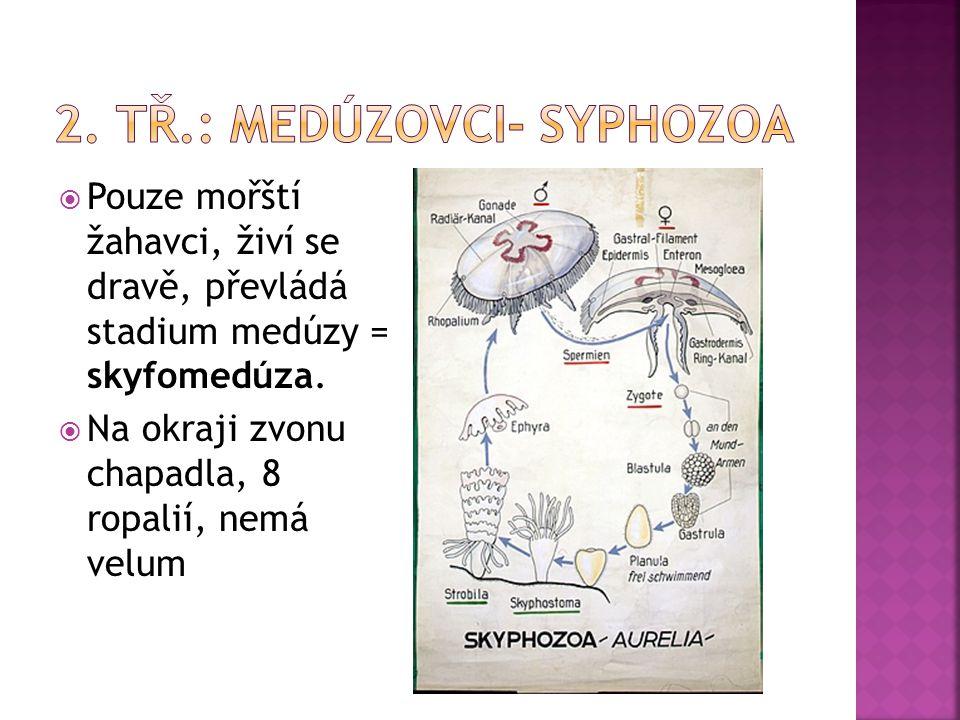  Pouze mořští žahavci, živí se dravě, převládá stadium medúzy = skyfomedúza.