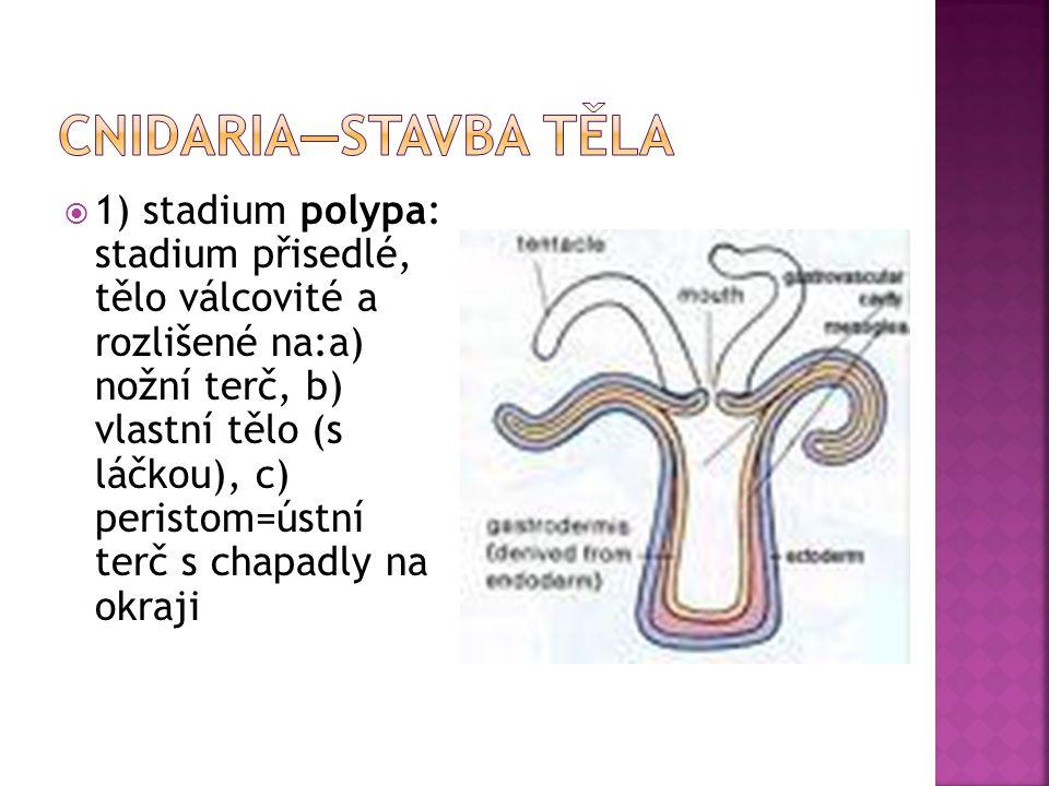  1) stadium polypa: stadium přisedlé, tělo válcovité a rozlišené na:a) nožní terč, b) vlastní tělo (s láčkou), c) peristom=ústní terč s chapadly na okraji