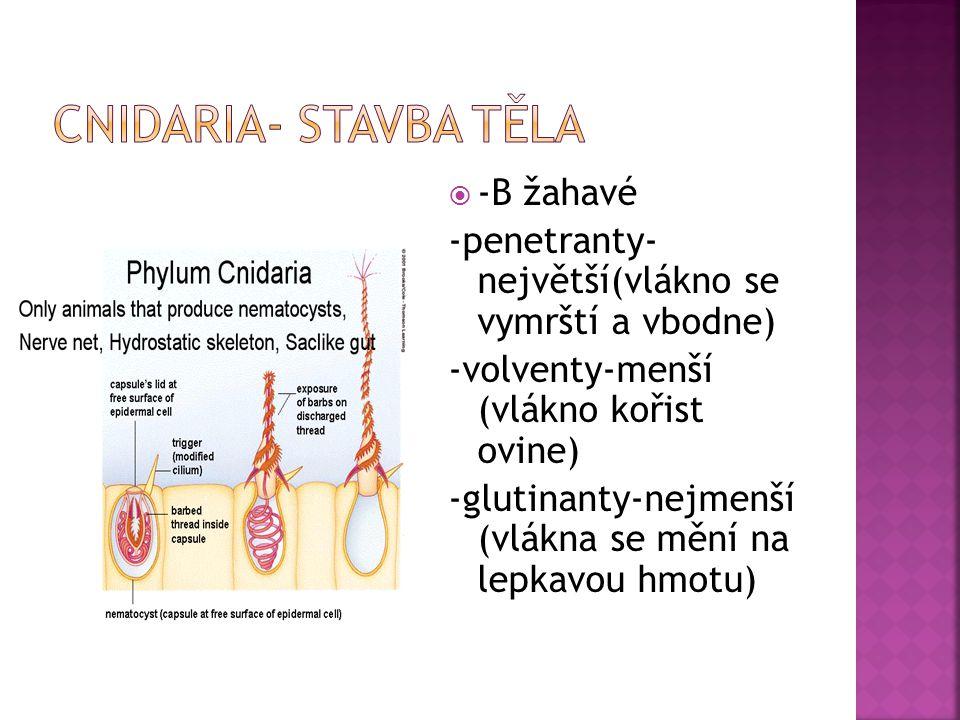  -B žahavé -penetranty- největší(vlákno se vymrští a vbodne) -volventy-menší (vlákno kořist ovine) -glutinanty-nejmenší (vlákna se mění na lepkavou hmotu)
