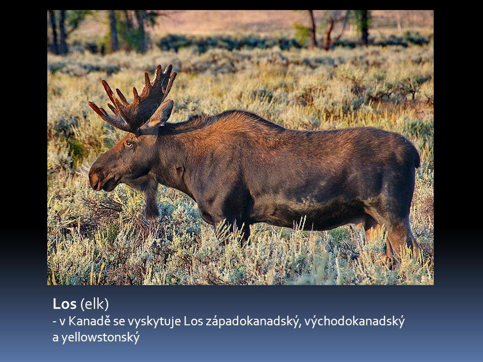 Los (elk) - v Kanadě se vyskytuje Los západokanadský, východokanadský a yellowstonský