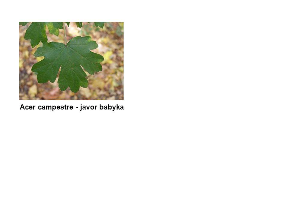 Acer campestre - javor babyka
