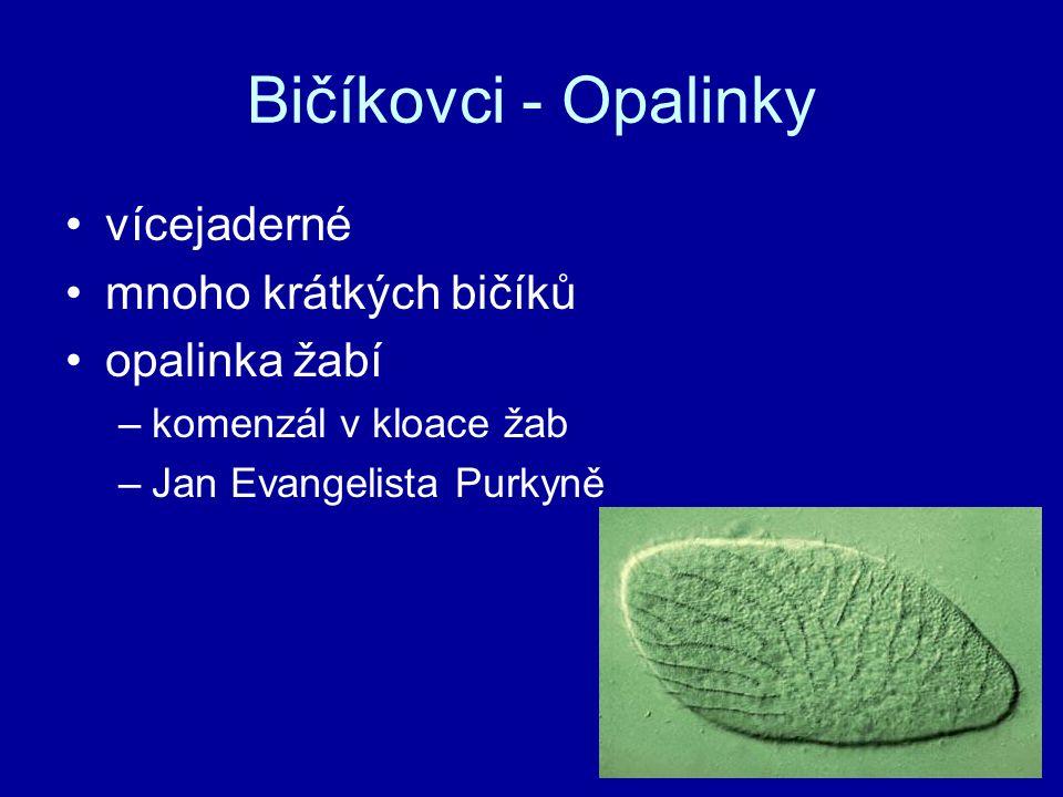 Bičíkovci - Opalinky vícejaderné mnoho krátkých bičíků opalinka žabí –komenzál v kloace žab –Jan Evangelista Purkyně