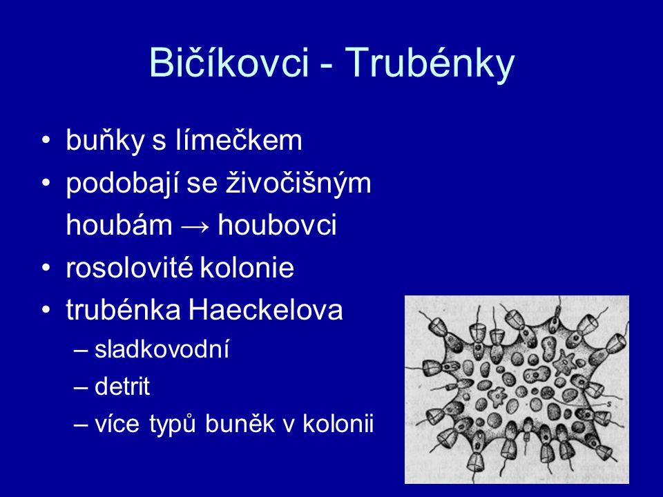 Bičíkovci - Trubénky buňky s límečkem podobají se živočišným houbám → houbovci rosolovité kolonie trubénka Haeckelova –sladkovodní –detrit –více typů buněk v kolonii