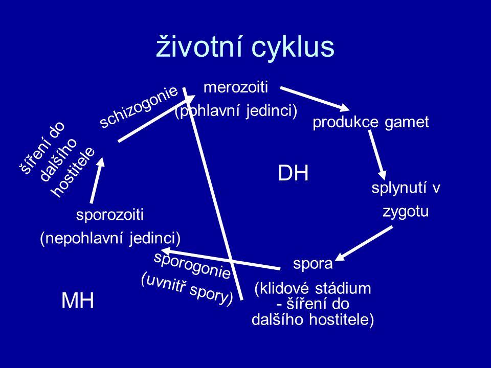 životní cyklus merozoiti (pohlavní jedinci) produkce gamet splynutí v zygotu spora (klidové stádium - šíření do dalšího hostitele) sporogonie (uvnitř
