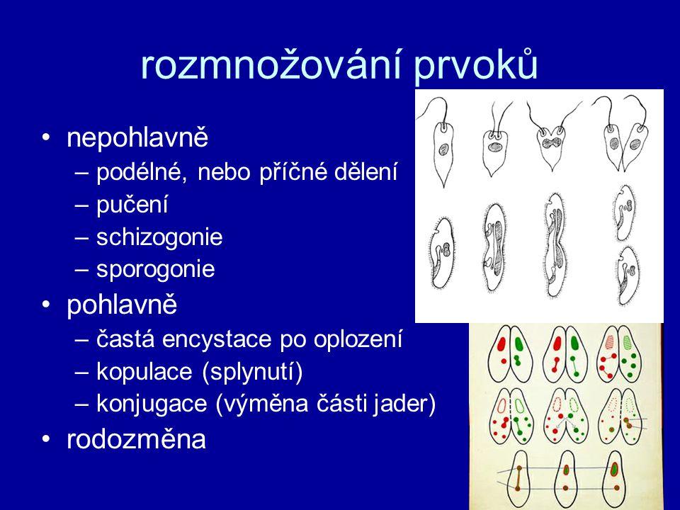 rozmnožování prvoků nepohlavně –podélné, nebo příčné dělení –pučení –schizogonie –sporogonie pohlavně –častá encystace po oplození –kopulace (splynutí) –konjugace (výměna části jader) rodozměna