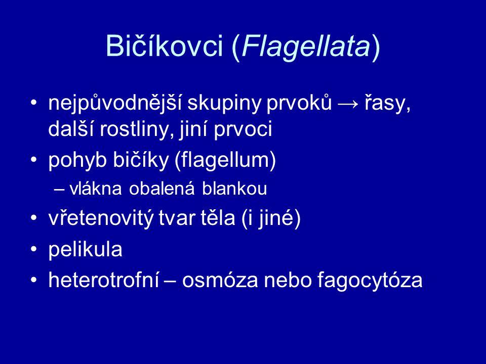 Bičíkovci (Flagellata) nejpůvodnější skupiny prvoků → řasy, další rostliny, jiní prvoci pohyb bičíky (flagellum) –vlákna obalená blankou vřetenovitý tvar těla (i jiné) pelikula heterotrofní – osmóza nebo fagocytóza