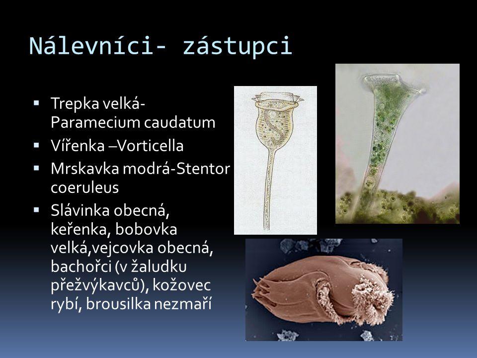 Nálevníci- zástupci  Trepka velká- Paramecium caudatum  Vířenka –Vorticella  Mrskavka modrá-Stentor coeruleus  Slávinka obecná, keřenka, bobovka v