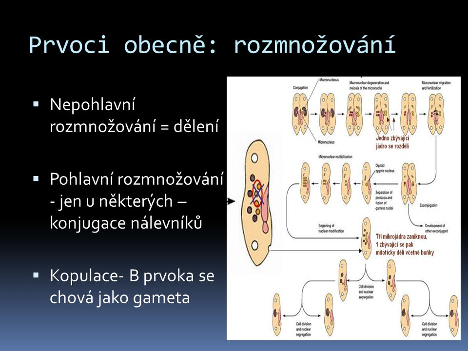 Prvoci obecně: rozmnožování  Nepohlavní rozmnožování = dělení  Pohlavní rozmnožování - jen u některých – konjugace nálevníků  Kopulace- B prvoka se
