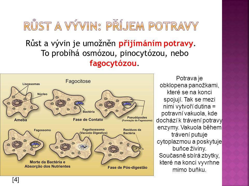 Růst a vývin je umožněn přijímáním potravy. To probíhá osmózou, pinocytózou, nebo fagocytózou. Potrava je obklopena panožkami, které se na konci spoju