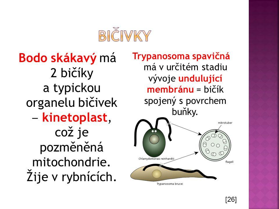 Bodo skákavý má 2 bičíky a typickou organelu bičivek ‒ kinetoplast, což je pozměněná mitochondrie. Žije v rybnících. Trypanosoma spavičná má v určitém