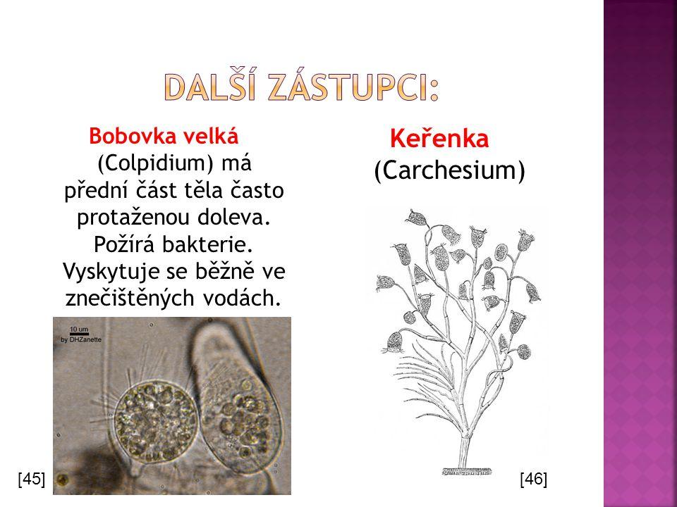 Bobovka velká (Colpidium) má přední část těla často protaženou doleva. Požírá bakterie. Vyskytuje se běžně ve znečištěných vodách. Keřenka (Carchesium