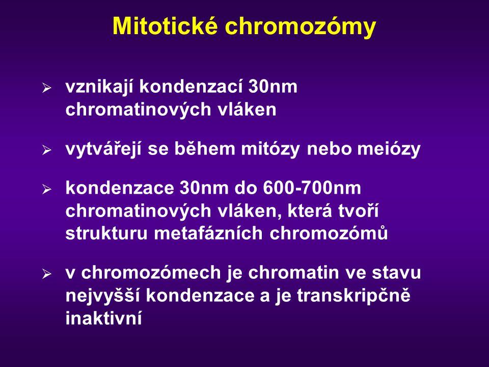 Mitotické chromozómy  vznikají kondenzací 30nm chromatinových vláken  vytvářejí se během mitózy nebo meiózy  kondenzace 30nm do 600-700nm chromatin